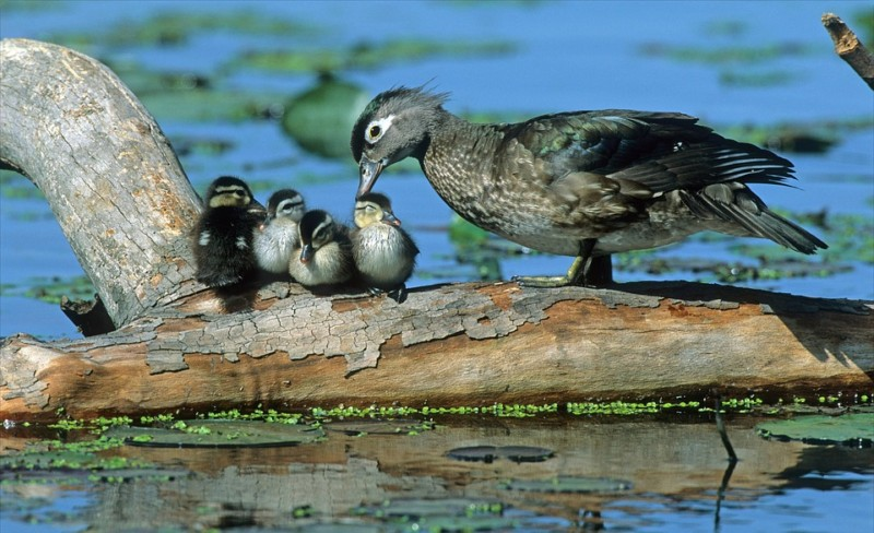 wood-ducks-3917647_960_720